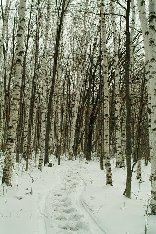 Birch trees before lr